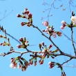 いつもキレイな花を咲かせてくれる、糸島 波多江小学校の横の桜☆自衛隊ボウズ