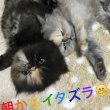 やんちゃペルシャ子猫の目開き寝オチ動画deイタズラ!(=^ェ^=)