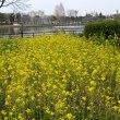 浮間公園の菜の花・・1