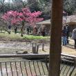 大倉山梅林の観梅会その2