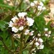 我が家の白い花たち