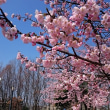 咲き出しました 今年も桜が