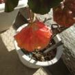 ゼラニュームの紅葉