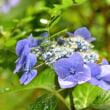 雨に咲くガクアジサイ