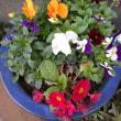 貝母(ばいも)、ジュリアン・ビオラ・スミレが 満開です : 春です!