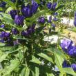 リンドウの花にマルハナバチが沢山来ます