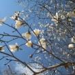 やっと・・・あっという間に桜が咲いた