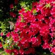 我が家で咲く花 タンポポ・皐月・ブルーベリの花 !