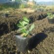 落花生の植え付け