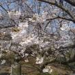 桜 in 島原