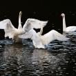 荒れる前の白鳥