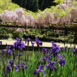 春日大社神苑 萬葉植物園の藤