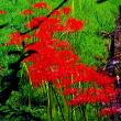 神代植物公園附属水生公園-彼岸花