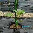 ピーマンの定植とオクラの種まき
