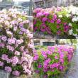 近所のフラワーロードに咲く藤の花とツツジ