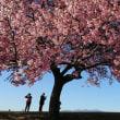 河津桜を見に行ってきました♪