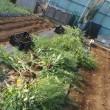 枝豆を直蒔きました