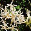 路傍脇の秋景色と我が家のシロバナヒガンバナ【白花彼岸花】