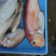 カリスマ真鯛餌釣り大会