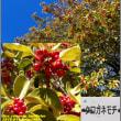 image2486 黒鉄黐-冬も元気