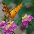 花図鑑103 ランタナに蝶