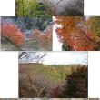豊田市小原の四季桜を見て来ました。