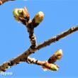仲良し小道「さくら百華の道」の「河津桜」の蕾が膨らみ始めた!!