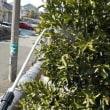タマネギ ニンニク ソラマメ ついでに庭の果樹などにジマンダイセンを散布しました
