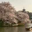 桜咲く 三渓園