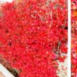 ≪ドウダン ツツジ≫の紅葉