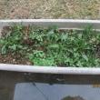 アサガオの花が咲き終わったプランターに種を蒔いた春菊とほうれん草は