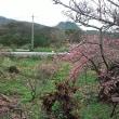 1月30日~2月2日まで沖縄に一番桜を見に行きました
