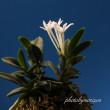 富貴蘭「海皇丸」の花