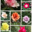 薔薇で幸せ〜