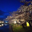 鶴岡公園の桜と黒柴かんべえ そして意外に穴場の桜