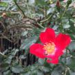 立冬に咲く花