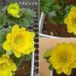 福寿草の花は
