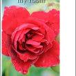 雨上がりの、、薔薇、、。