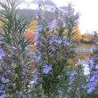 ローズマリーの花は
