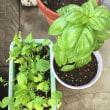 自宅の野菜たち【バジル、ヘビーリーフ】その後