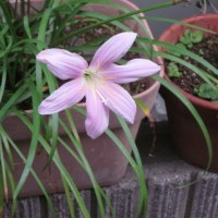サフラン擬きという花