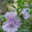 ブルーのたち葵
