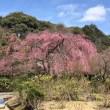 法金剛院様 桜三分咲き