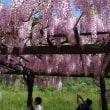 白井大町藤公園の藤とおまけの一の宮神社の霧島ツツジ