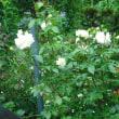 咲いてます。バラのイクセクローンスペリオン