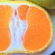 Satsuma mandarin ( Citrus unshiu ) my brother-in-law lives in Wakayama gave