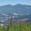 菅平高原・大松山のヤナギラン