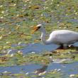 水生植物ガガブタの花咲く池のダイサギ