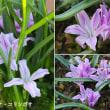 ポリキセナ・コリンボサの花は