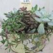 多肉植物寄せ植え鉢をお作り致しました。(観賞用)